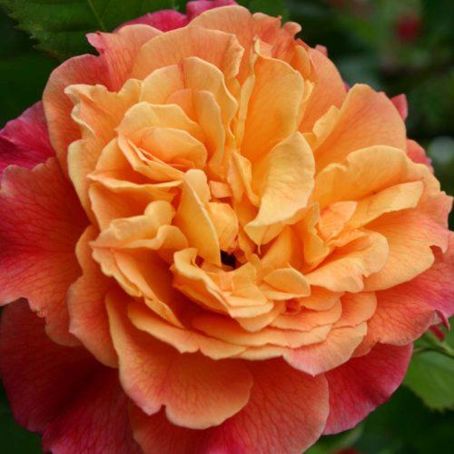 Klettermaxe-Rose
