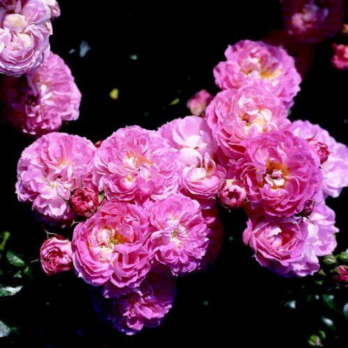 Lilliputs-Rose