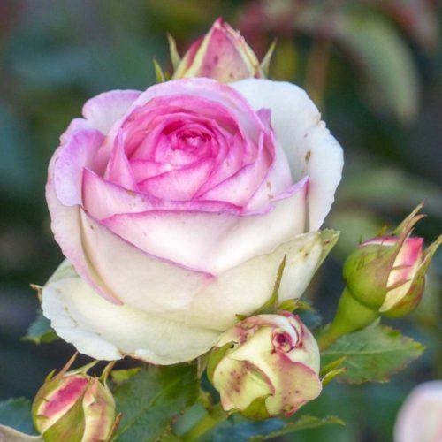 Romantica-Rose