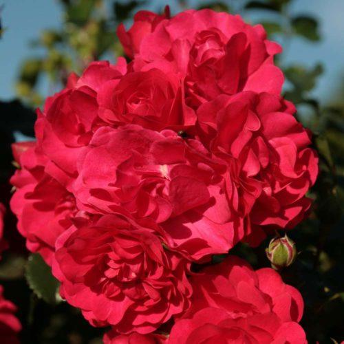 Rigo-Rose