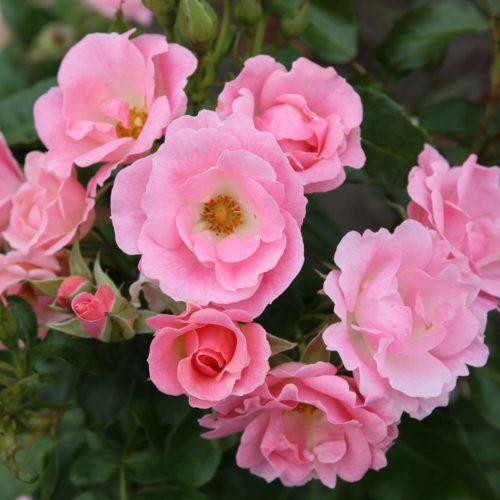 Nektargarten-Rose