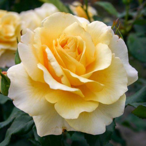 Eleganza-Rose